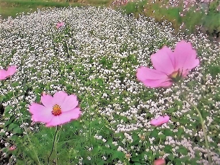 ソバの花3.jpg