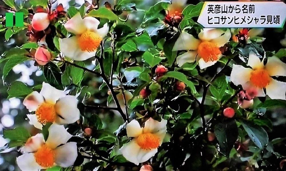 ヒコサンヒメシャラ.jpg