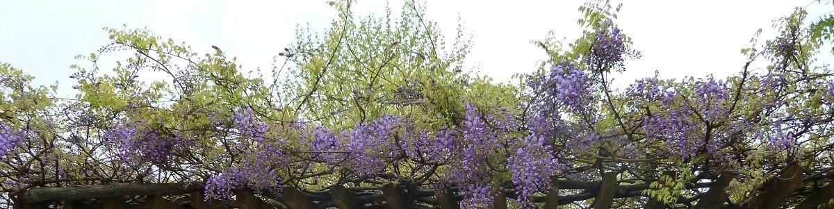 フジの花.JPG