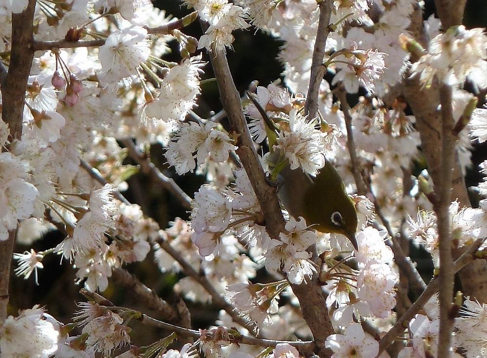 メジロ&桜桃の花.jpg