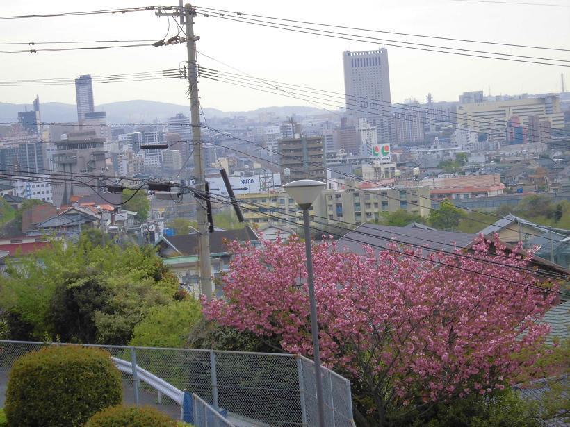八重桜1.jpg