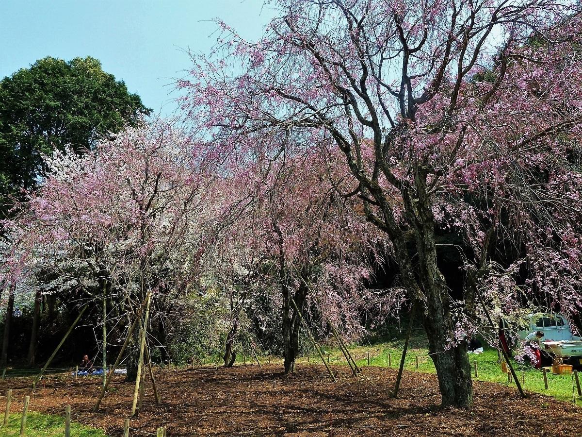 妙見宮枝垂れ桜.jpg
