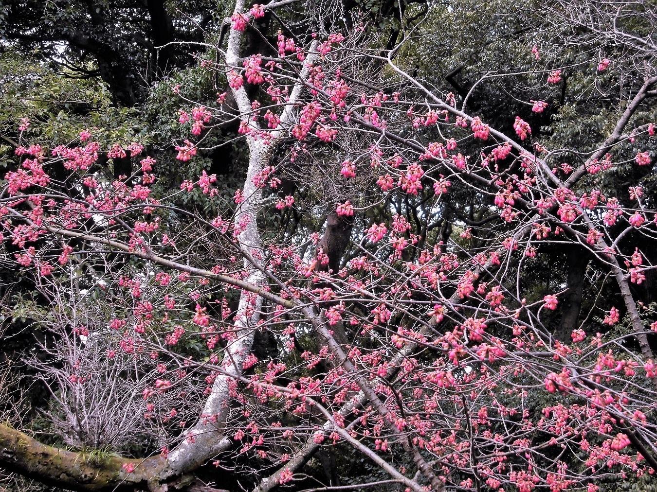 寒緋桜.JPG
