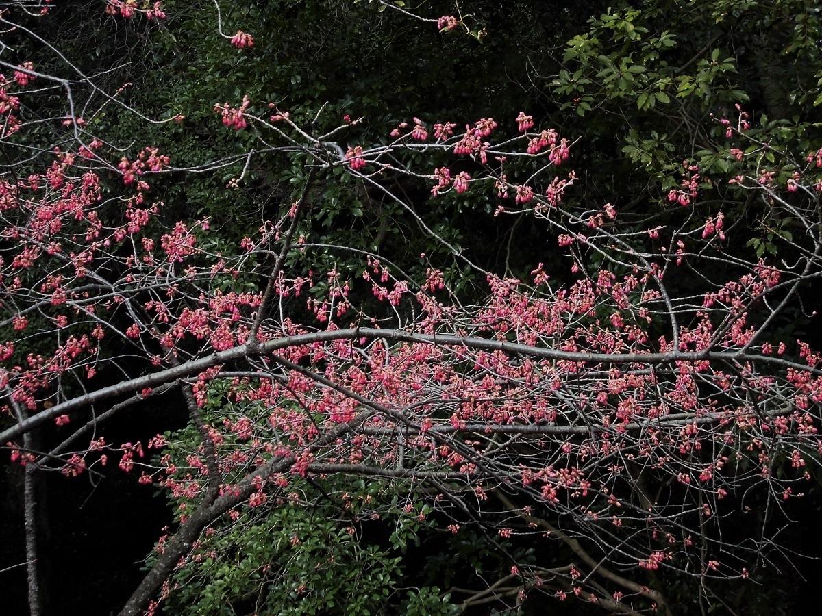 寒緋桜�A.jpg
