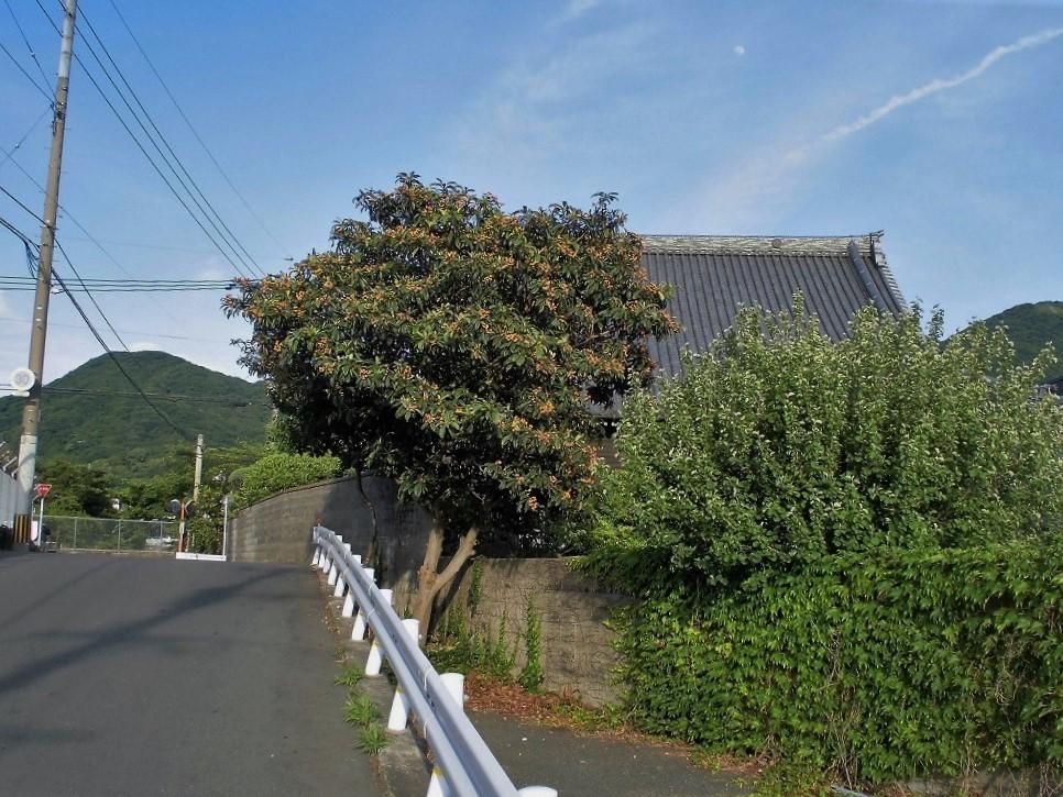 小倉北区枇杷2.jpg