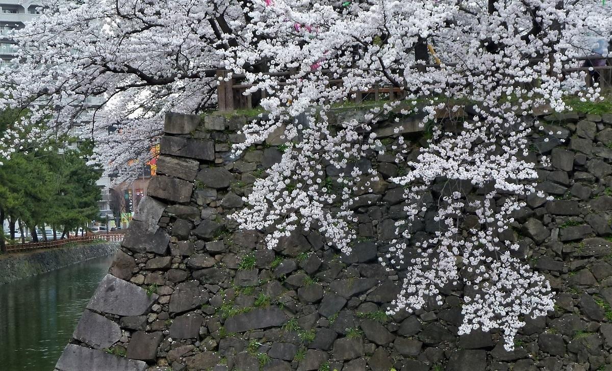 小倉城  桜3.jpg