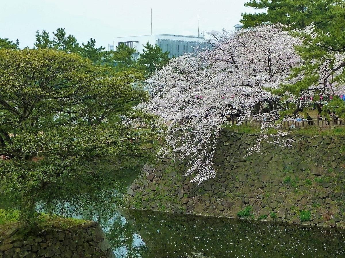 小倉城 桜1.jpg