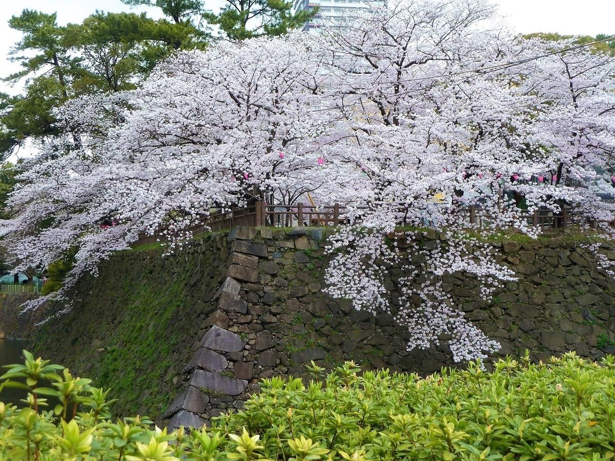 小倉城桜2.jpg
