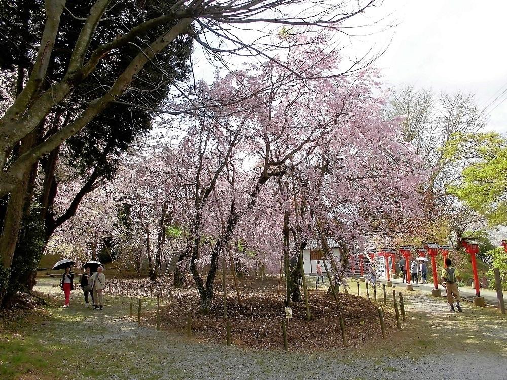 枝垂れ桜妙見宮.jpg