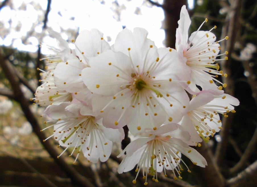 桜桃.jpg