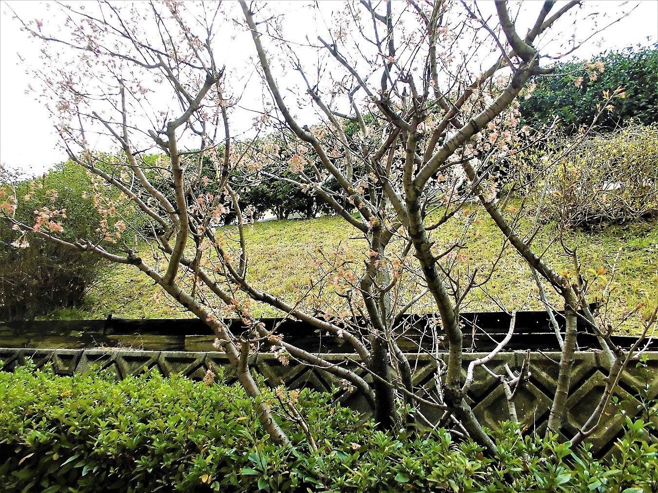 桜桃 20210305.JPG