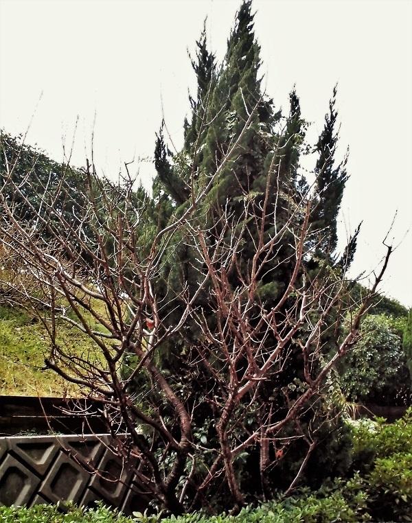 桜桃の木.jpg