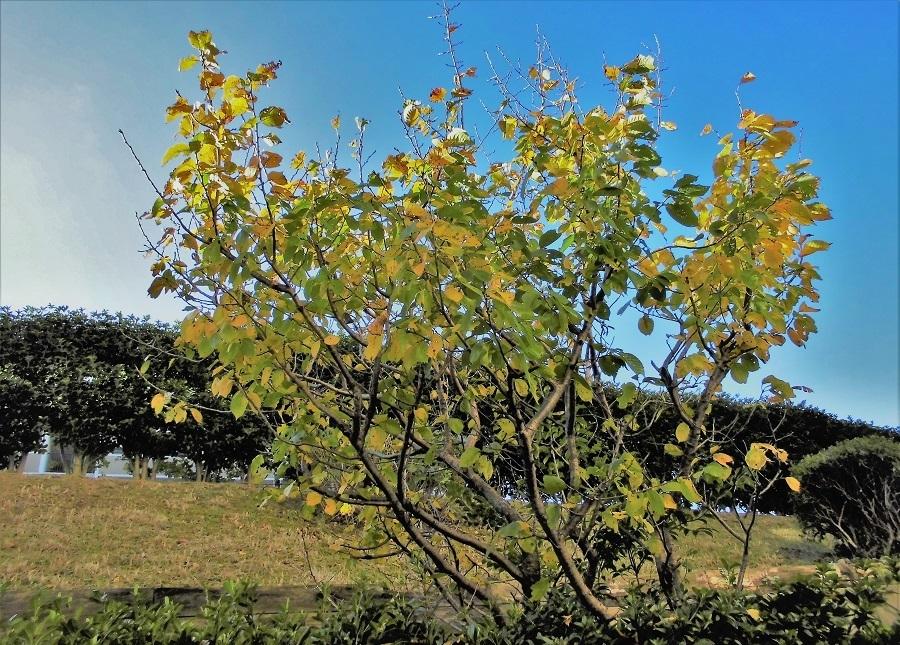 桜桃の木1214.jpg