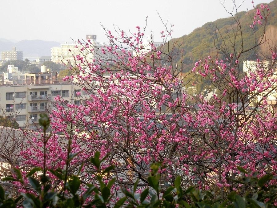 紅梅 小倉北区.jpg