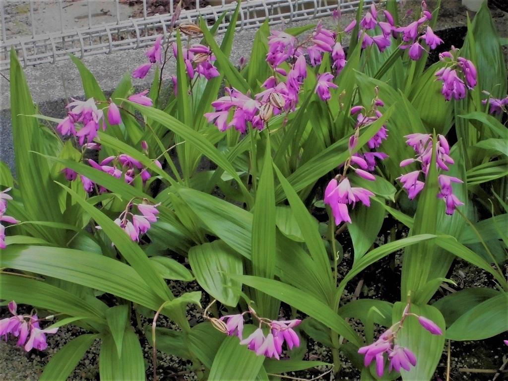紫蘭.jpg