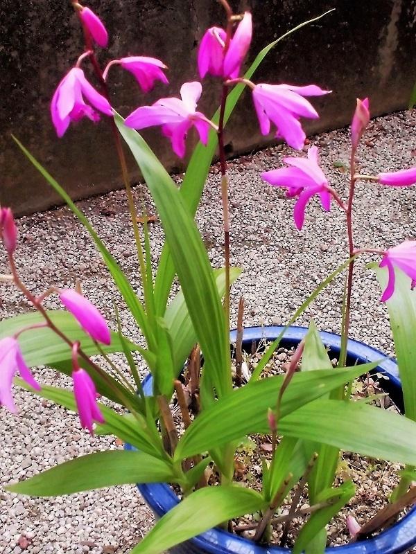 紫蘭�B.jpg