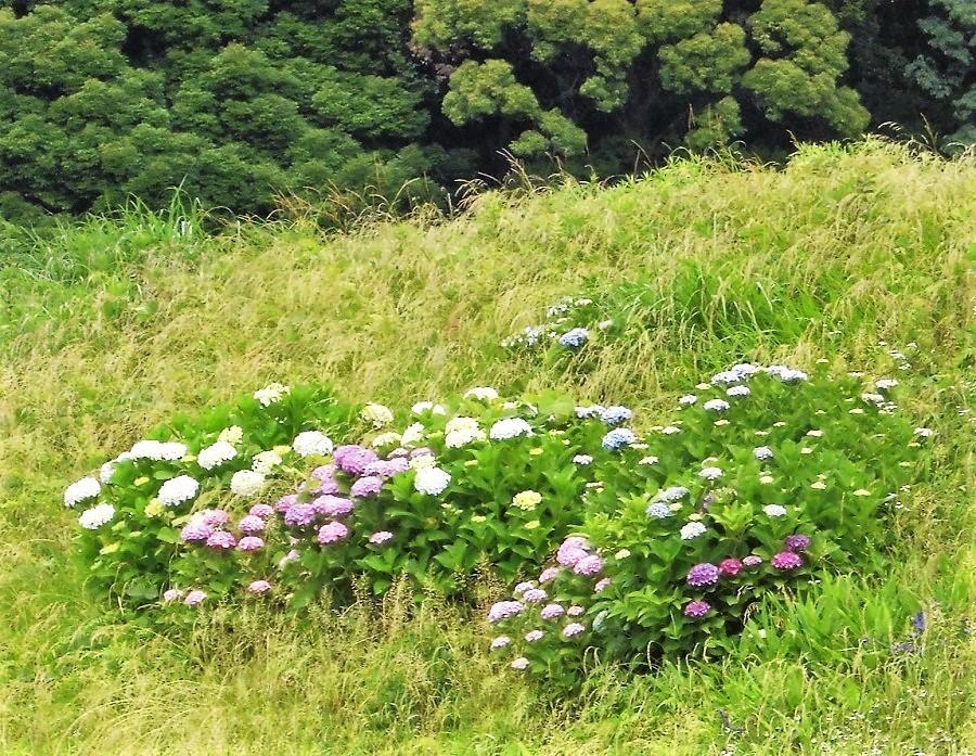 紫陽花�U.jpg