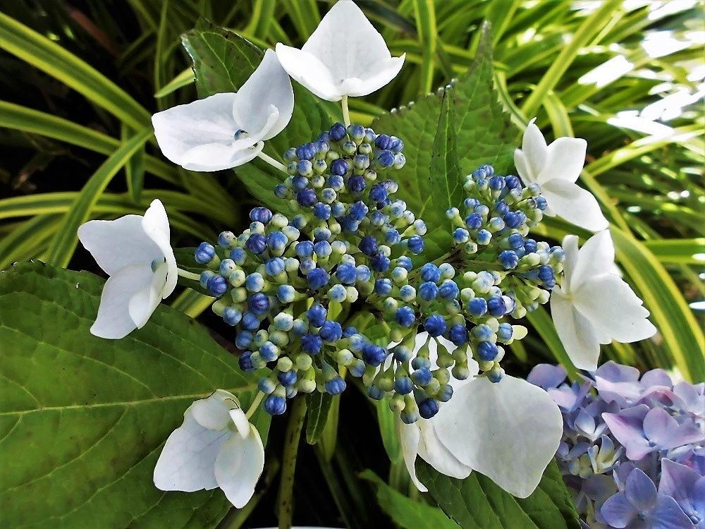 紫陽花�A.jpg