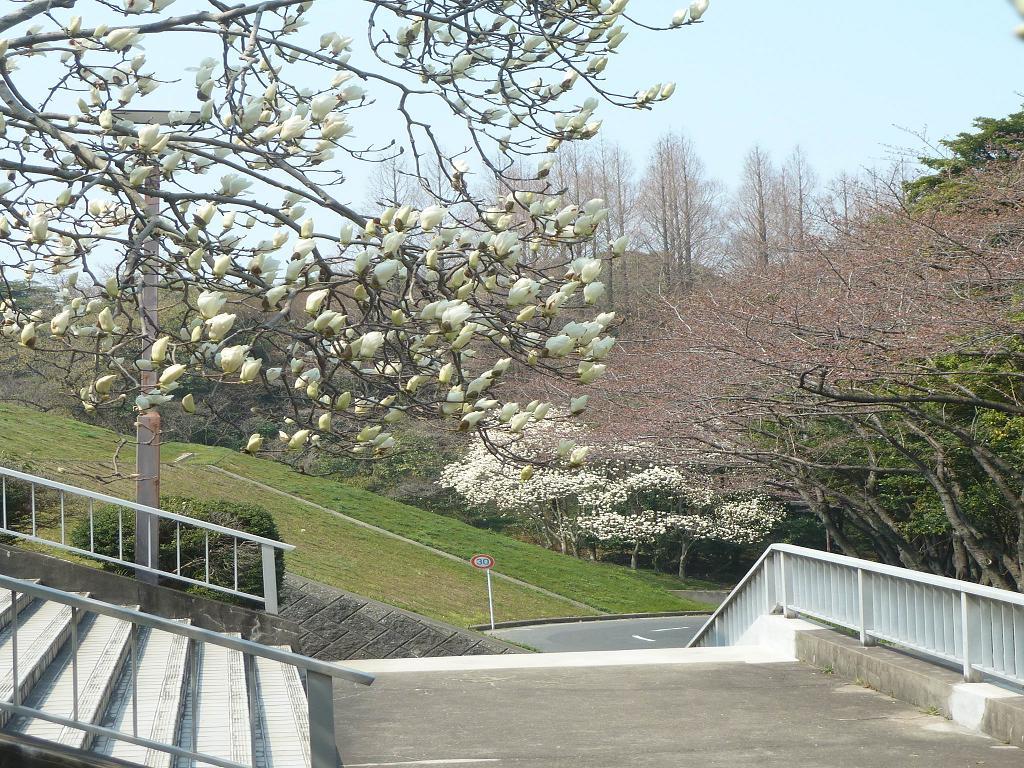 Magnolia kobus.jpg